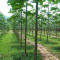 Dal legno della Paulownia quali opportunità per l'agricoltura?