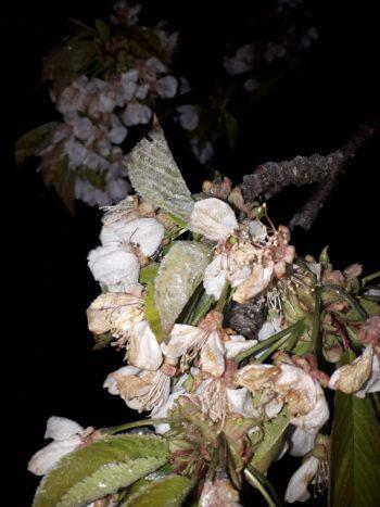Coldiretti: la prossima notte la più rischiosa, allarme anche per le barbabietole e il mais appena seminato