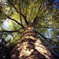 Sette volte albero